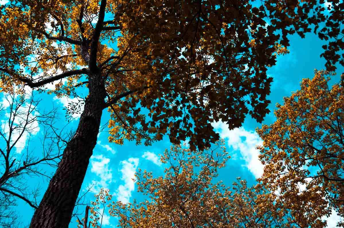 Looking up at the brown leaves of trees with a very bright teal blue sky